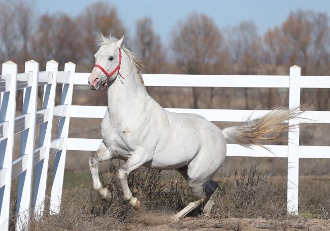 Katar'a Arap atı spermleri de satıldı!
